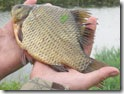 Autumn crucian